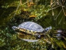 Grupa żółwie w stawie Fotografia Royalty Free