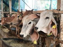 Grupa żądająca okupu krowa w metal klatki ogrodzeniu Zdjęcie Stock