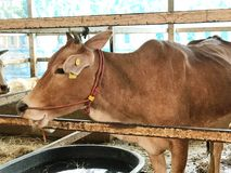 Grupa żądająca okupu krowa w metal klatki ogrodzeniu Zdjęcia Royalty Free