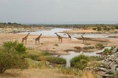 Grupa żyrafy Mara rzeką przy granicą Kenja i Tanzania, Obraz Stock