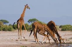 Grupa żyrafy przy podlewaniem Kenja Tanzania 5 2009 Africa tana wschodnich maasai marszu spełniania Tanzania wioski wojowników Obrazy Royalty Free