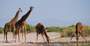 Grupa żyrafy przy podlewaniem Kenja Tanzania 5 2009 Africa tana wschodnich maasai marszu spełniania Tanzania wioski wojowników Obraz Royalty Free