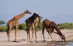 Grupa żyrafy przy podlewaniem Kenja Tanzania 5 2009 Africa tana wschodnich maasai marszu spełniania Tanzania wioski wojowników Fotografia Royalty Free