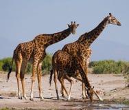 Grupa żyrafy przy podlewaniem Kenja Tanzania 5 2009 Africa tana wschodnich maasai marszu spełniania Tanzania wioski wojowników Obraz Stock