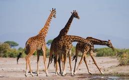 Grupa żyrafy przy podlewaniem Kenja Tanzania 5 2009 Africa tana wschodnich maasai marszu spełniania Tanzania wioski wojowników Fotografia Stock