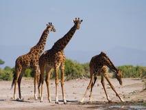 Grupa żyrafy przy podlewaniem Kenja Tanzania 5 2009 Africa tana wschodnich maasai marszu spełniania Tanzania wioski wojowników Zdjęcie Stock