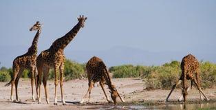 Grupa żyrafy przy podlewaniem Kenja Tanzania 5 2009 Africa tana wschodnich maasai marszu spełniania Tanzania wioski wojowników Zdjęcie Royalty Free