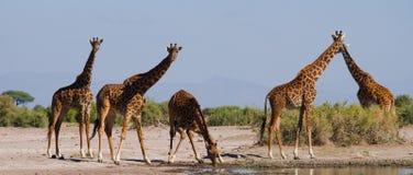 Grupa żyrafy przy podlewaniem Kenja Tanzania 5 2009 Africa tana wschodnich maasai marszu spełniania Tanzania wioski wojowników Zdjęcia Stock
