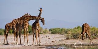 Grupa żyrafy przy podlewaniem Kenja Tanzania 5 2009 Africa tana wschodnich maasai marszu spełniania Tanzania wioski wojowników Zdjęcia Royalty Free