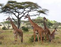 Grupa żyrafy w sawannie Kenja Tanzania 5 2009 Africa tana wschodnich maasai marszu spełniania Tanzania wioski wojowników Zdjęcie Stock