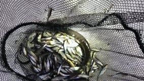 Grupa żywy młodej ryby szczupak w sieci rybackiej zimy śniegu zdjęcie wideo