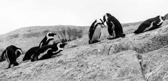 Grupa Afrykańscy pingwiny oddziała wzajemnie z each inny na skałach przy głazami Wyrzucać na brzeg w Kapsztad, Południowa Afryka zdjęcie royalty free