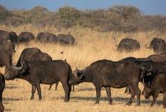 Grupa afrykańscy bizony w sawannie Zdjęcie Stock