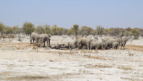 Grupa afrykanina Bush słonie Zdjęcia Stock