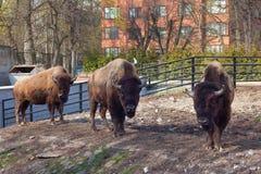 Grupa Amerykański żubr w zoo w wiośnie zdjęcia stock