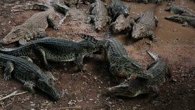 Grupa amerykańscy i kubańscy krokodyle w małym stawie, Kuba zbiory wideo
