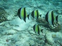 grupa angelfish Fotografia Royalty Free
