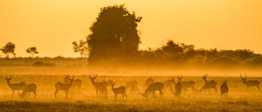 Grupa antylopa przy zmierzchem Zakończenie Botswana Okavango Delta Obrazy Stock