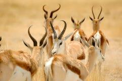 Grupa antylopa z brown kolorem Zdjęcia Royalty Free