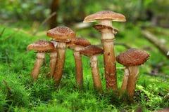 Grupa armillaria Zdjęcie Stock
