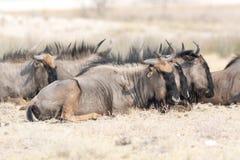 Grupa błękitny wildebeests kłamać gnuśny Obrazy Royalty Free