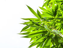 Grupa bambusów liście na białym tle Obraz Stock