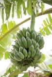 Grupa banany obraz stock