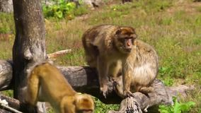 Grupa Barbary makaki wpólnie, ogólnospołeczne zwierzę struktury, zagrażający zwierzęcy specie od Afryka zdjęcie wideo