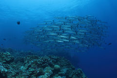 Grupa Barracudas Fotografia Stock