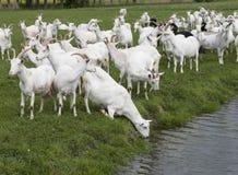 Grupa białe kózki w zielonej holenderskiej łące w holandii dr fotografia stock