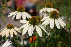Grupa biały echinacea Zdjęcie Royalty Free