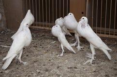 Grupa biały garłacza gołąb Obraz Stock