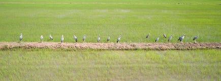 Grupa biały wielki egret w ryżowym polu, widok z lotu ptaka od f Fotografia Royalty Free