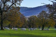 Grupa białych koni jesieni słoneczny dzień Obrazy Stock