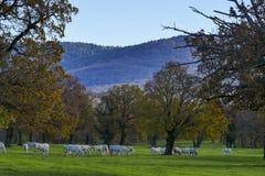 Grupa białych koni jesieni słoneczny dzień Fotografia Royalty Free