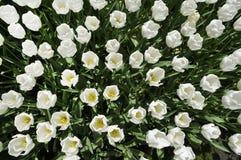 Grupa biali tulipany Obrazy Stock