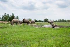 Grupa bizony na zielenieje pole Obraz Stock