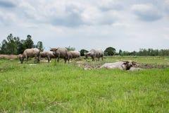 Grupa bizony na zielenieje pole Zdjęcie Royalty Free