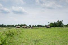 Grupa bizony na zielenieje pole Zdjęcia Stock