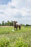Grupa bizony na zielenieje pole Obrazy Stock