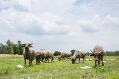 Grupa bizony na zielenieje pole Obrazy Royalty Free