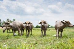 Grupa bizony na zielenieje pole Zdjęcie Stock