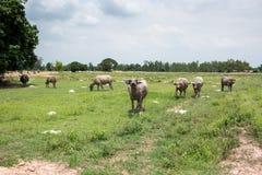 Grupa bizony na zielenieje pole Fotografia Stock