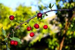 Grupa bogate wiśnie na odgałęzieniu roślina Obrazy Stock