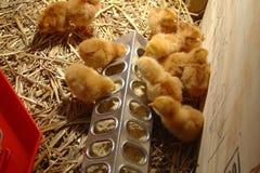 Grupa brązów kurczątka je przy dozownikiem w nasiadce na gospodarstwie rolnym zdjęcie stock