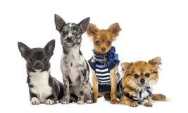 Grupa chihuahua obsiadanie Zdjęcia Stock