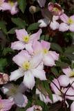 Grupa clematis kwiaty Obraz Stock