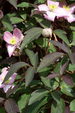 Grupa clematis kwiaty Obraz Royalty Free