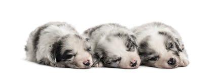 Grupa crossbreed szczeniaków spać odizolowywam na bielu obrazy royalty free