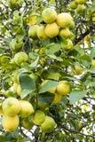 Grupa cytryny na drzewie Fotografia Stock